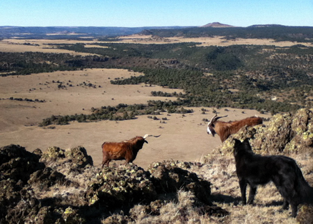 Mountain Goats in northeast New Mexico