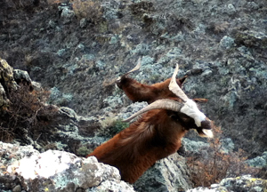 Mountain goats in northeastern New Mexico