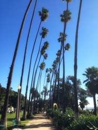 Santa Monica palm trees bent by wind