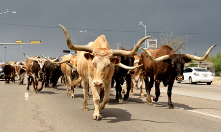 Texas Longhorns on parade, Route 66 at Tucumcari Rawhide Days 2016
