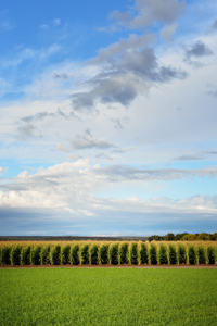 Cornfield near Hatch, New Mexico, October, by Tim Keller