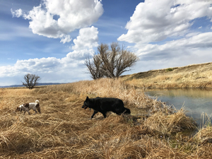 Jack Russell Terrier and Border Collie hiking at New Mexico pond