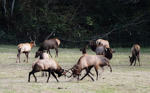 Elk tussle along California's north coast