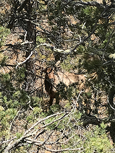 Spring elk bull in Raton's Climax Canyon park