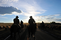 "cattle drive, photograph, Western Horseman, Tim Keller, ""Bringing Up the Rear"""