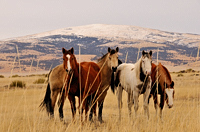 Horses, Capulin NM