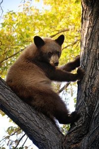 Bear cub in Raton neighborhood